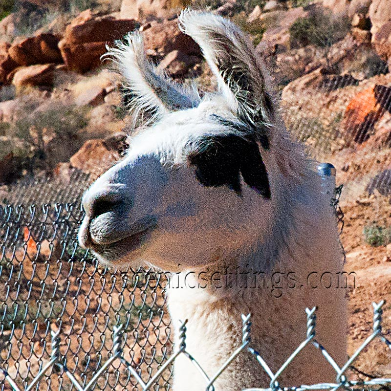 """Al Paca"". Another resident at ""Keepers of the Wild"" animal Sanctuary in Valentine, AZ."