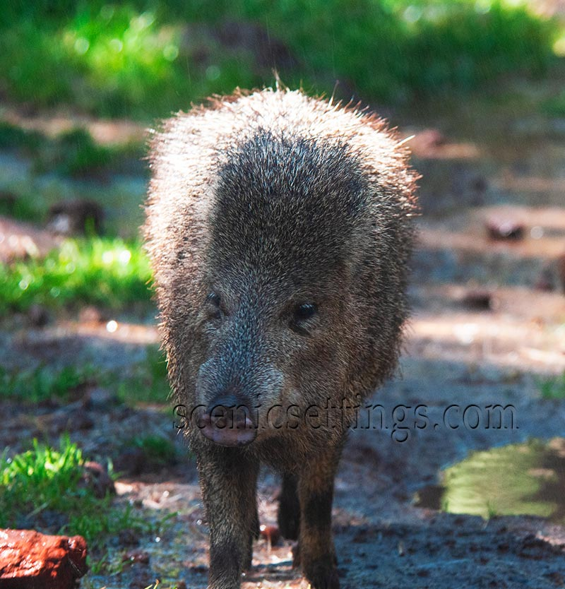 Backlit Boar - Boar walking towards camera.