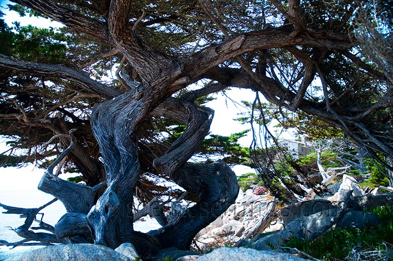 """Twisty Cypress"" along the 17-Mile Drive in Pacific Grove, CA."